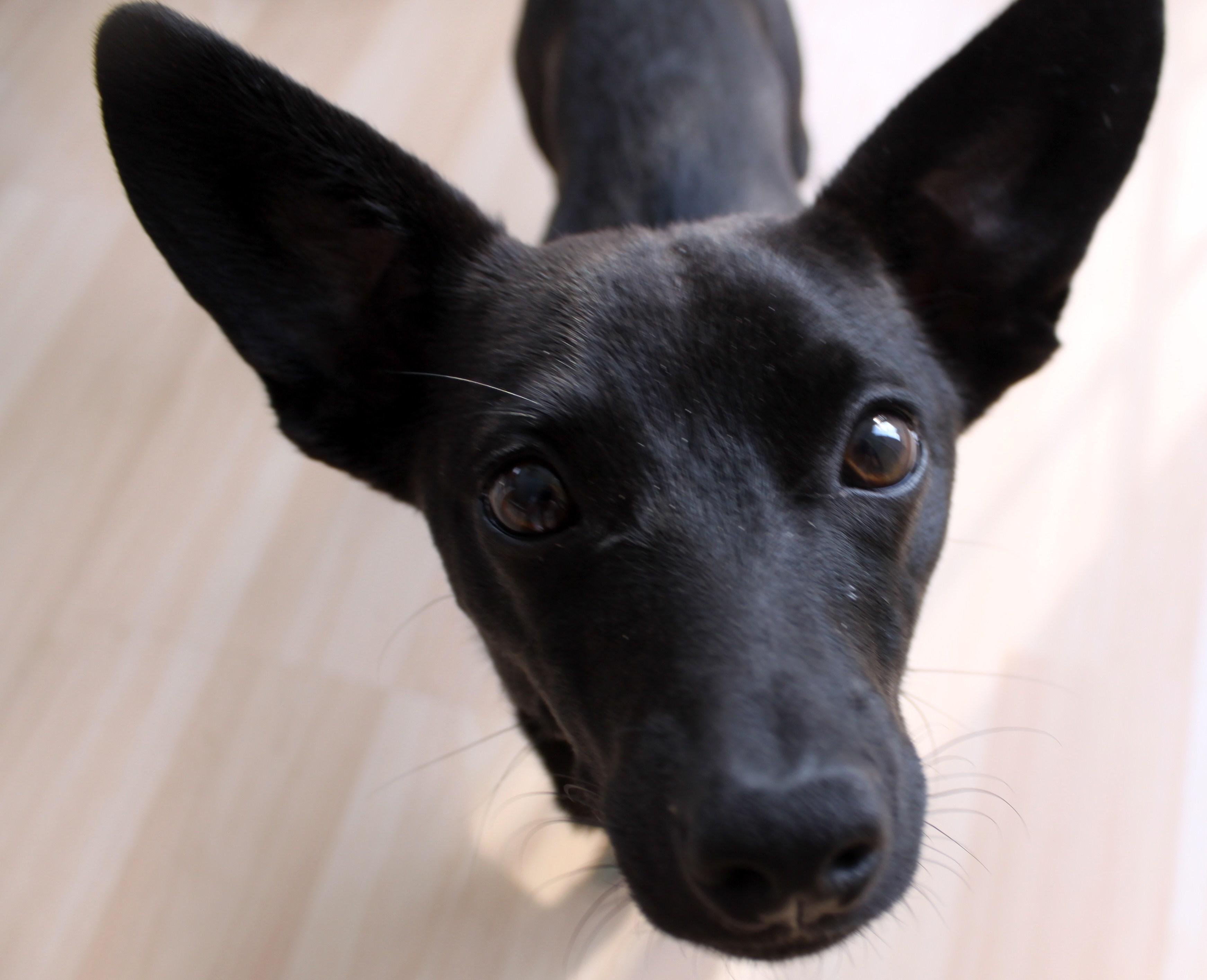 Black Dachshund Mix Pomeranian/dachshund mix