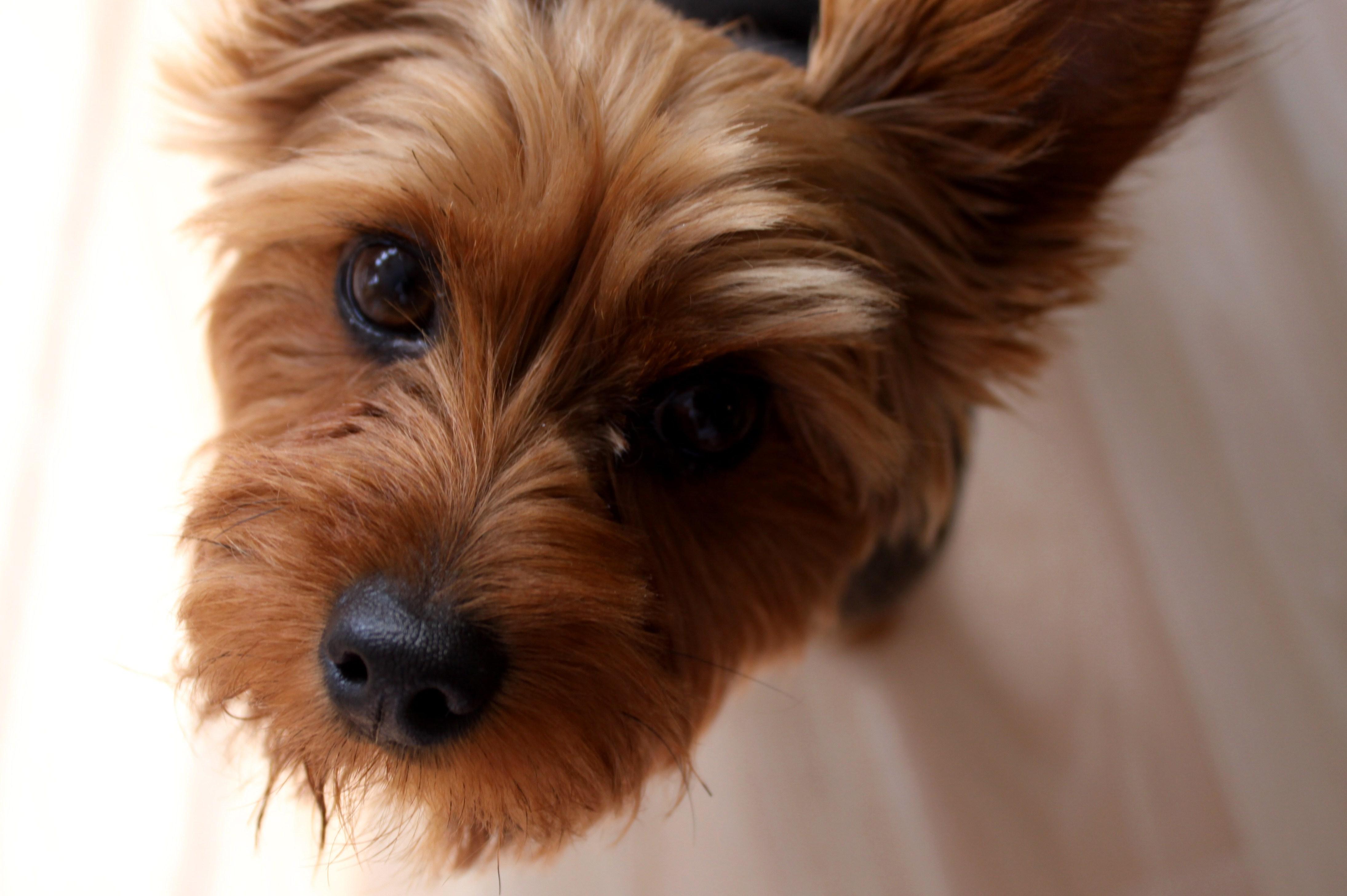 Yorkie And Dachshund Mix Pomeranian/dachshund mix