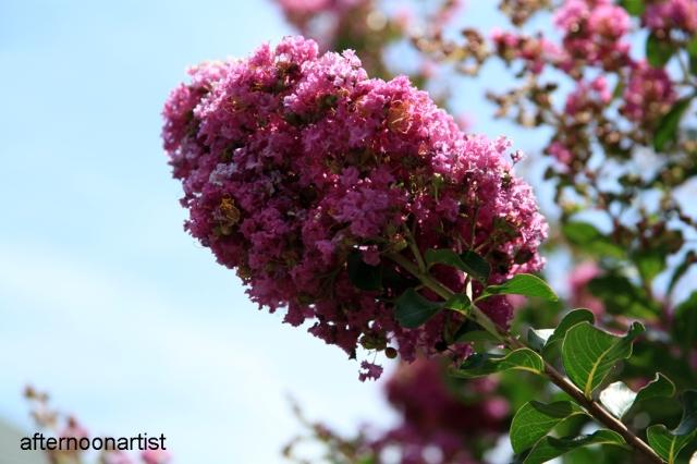 crepe myrtle blooms